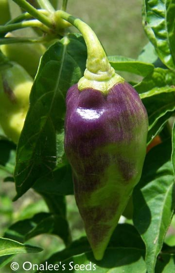 Image 1 of *SUPER HOT* Datil Pepper Seeds, St. Augustine Minorcan Pepper, Capsicum