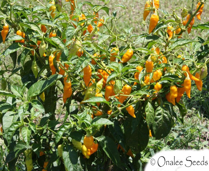 Image 2 of *SUPER HOT* Datil Pepper Seeds, St. Augustine Minorcan Pepper, Capsicum