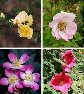 Shrub Rose Collection   4 Hardy Varieties  SAVE 45