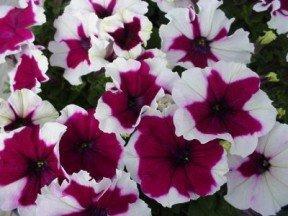 Petunia  Burgundy Frost