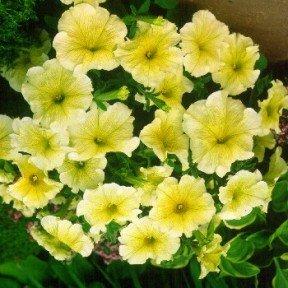 Petunia  Prism Sunshine