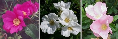 Japanese Rugosa Rose Collection   3 Varieties  SAVE 47