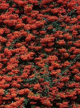 Scarlet Firethorn  1 000  Seeds