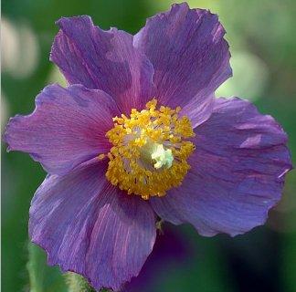Himalayan Poppy  Hensol Violet
