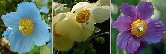 Himalayan Poppy Collection   3 Varieties  SAVE 33