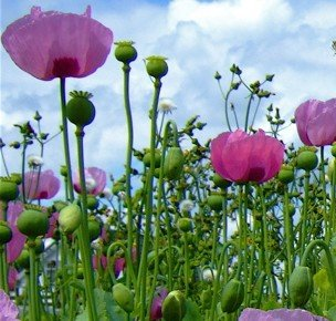 Poppy  Giganteum