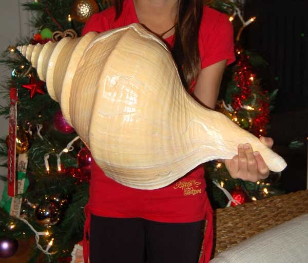 Image 0 of Seashell Syrinx aruanus Australian Trumpet Sea Shell 22 Inches