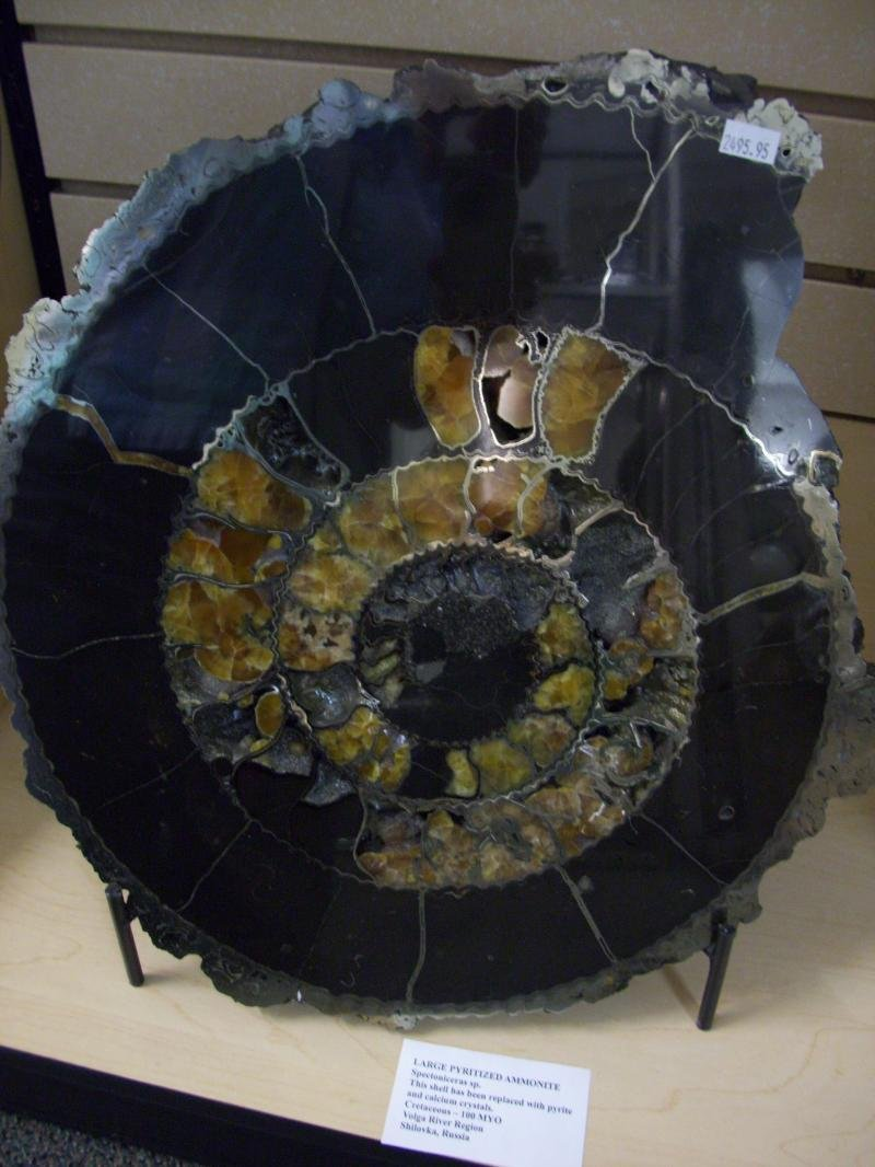 Image 0 of Pyritized Ammonite - Extra Large and ''RARE''