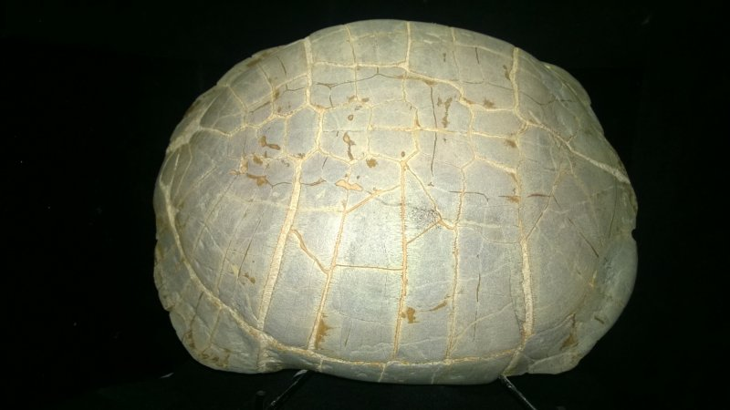 Image 0 of Turtle Shell Fossil - Large