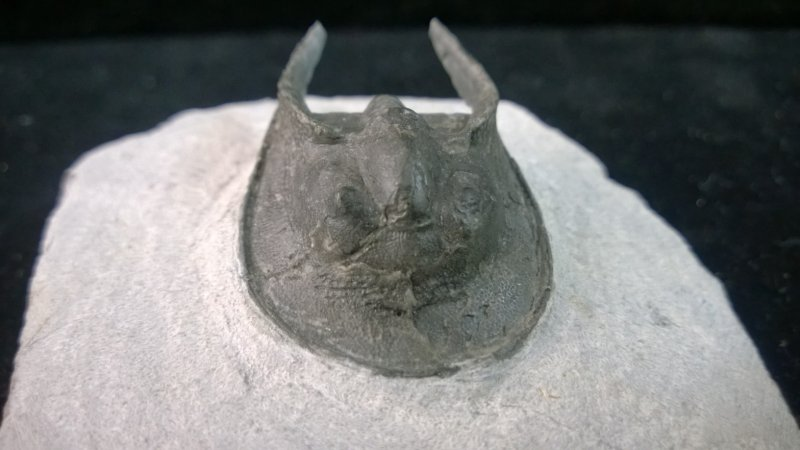 Image 0 of Trilobite - Aristoharpes - ''RARE''