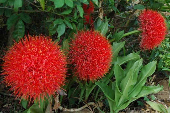 Image 2 of Blood Lily (Scadoxus multiflorus) AKA: PowderPuff Lily, Football Lily, African