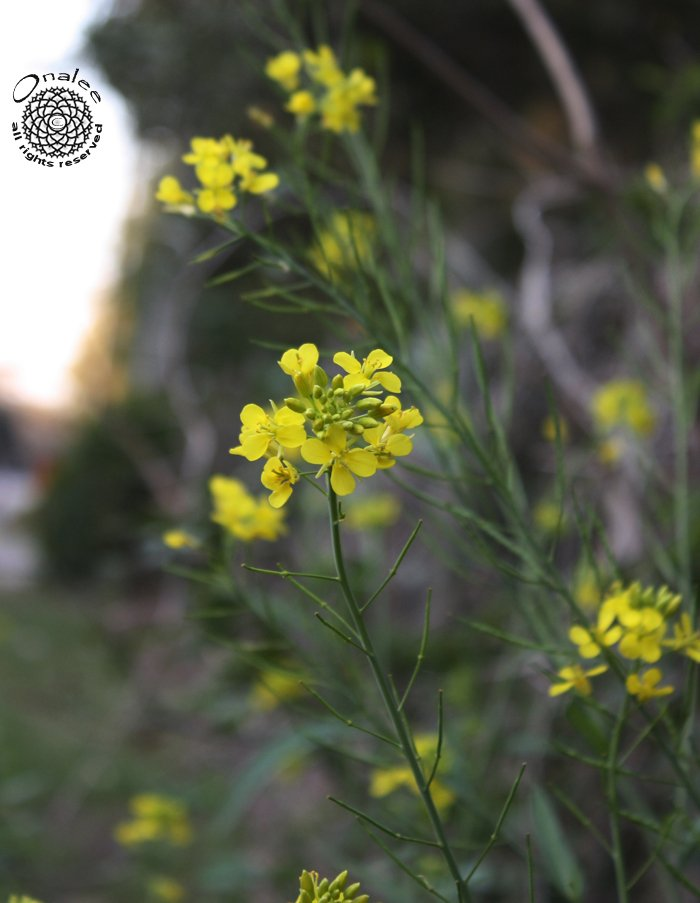 Image 1 of Heirloom Mustard Seeds / Yellow Flowers / Cold Hardy!