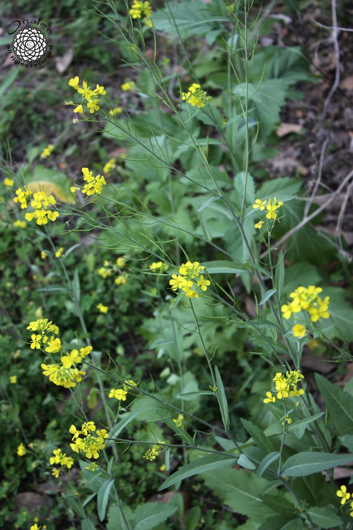 Image 2 of Heirloom Mustard Seeds / Yellow Flowers / Cold Hardy!
