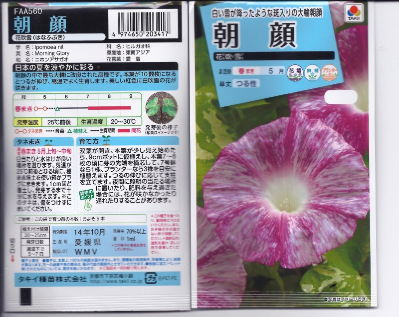 Image 1 of Japanese Morning Glory Seeds: Hanahubuki-''Snowstorm of Blooms'' Pink/white
