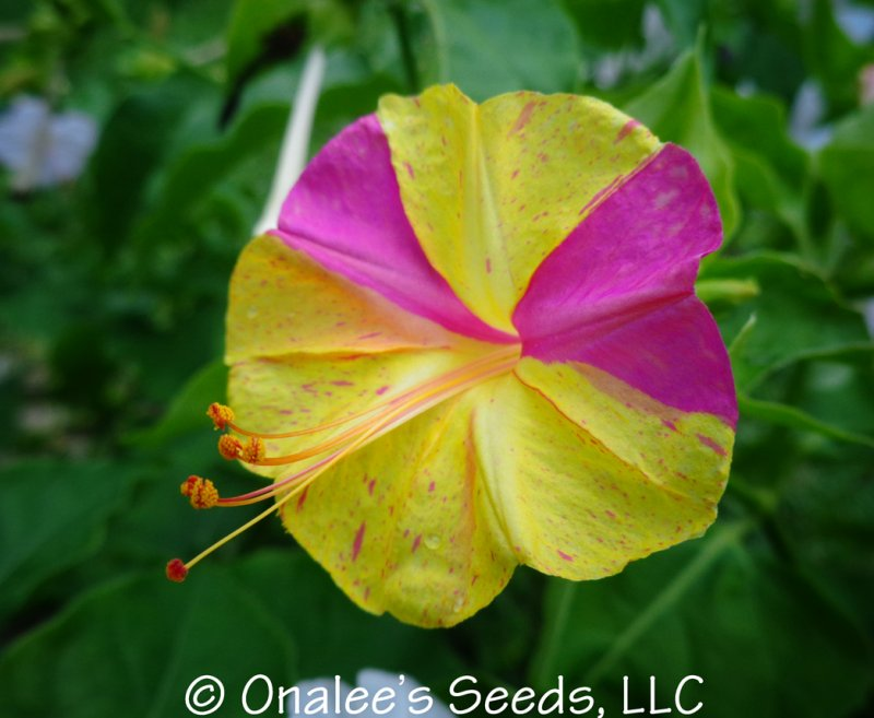 Image 0 of KALEIDOSCOPE (Broken Colours) Four O'Clock / Marvel of Peru Seeds Mirabilis