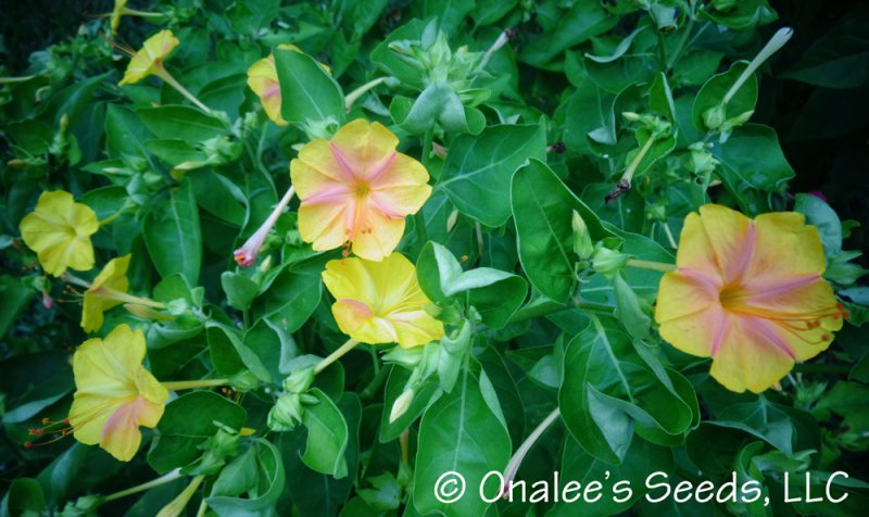 Image 2 of KALEIDOSCOPE (Broken Colours) Four O'Clock / Marvel of Peru Seeds Mirabilis