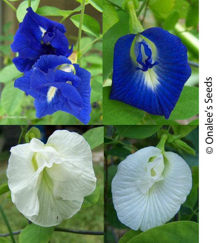 Butterfly Pea Vines: Mixed Seeds: Blue, White - single and double blooms