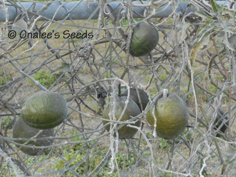 Image 2 of Morrenia odorata / Latex Vine / Strangler Vine Seeds