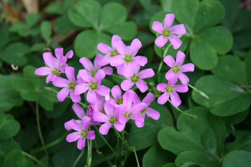 Image 1 of Oxalis Pink Flowering, Wood Sorrel, Green Leaf Shamrock Plant.