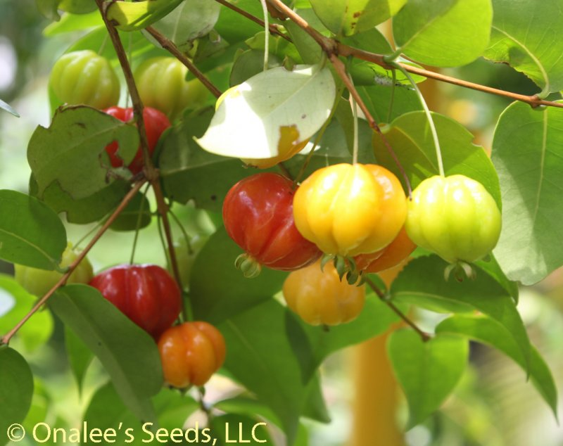 Image 1 of Surinam Cherry, Florida Cherry,  Eugenia uniflora, Seeds