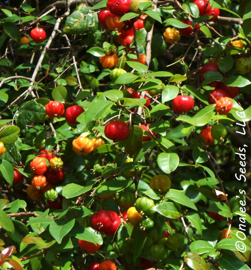 Image 2 of Surinam Cherry, Florida Cherry,  Eugenia uniflora, Seeds