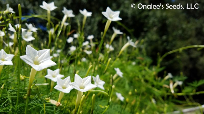 Image 2 of Cypress Vine: White (Hummingbird Vine/Star Glory) Seeds (Ipomoea quamoclit)