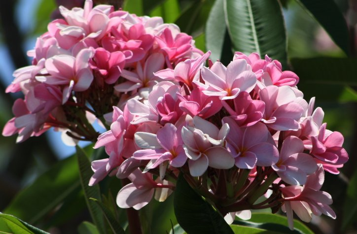 Pink Frangipani (Plumeria rubra) Unrooted Cutting, Fragrant Tropical
