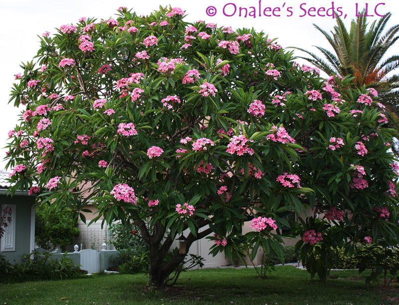 Image 1 of Pink Frangipani (Plumeria rubra) Unrooted Cutting, Fragrant Tropical