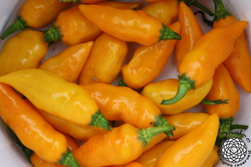 *SUPER HOT* Datil Pepper Seeds, St. Augustine Minorcan Pepper, Capsicum