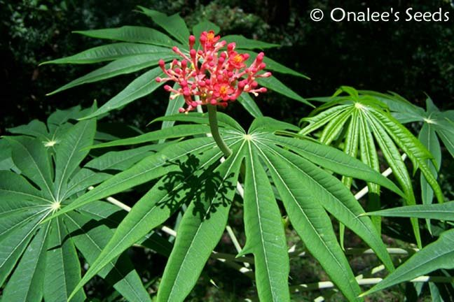 Coralbush, Coral Plant, Physic Nute, Guatemala Rhubarb, Jatropha multifida seeds