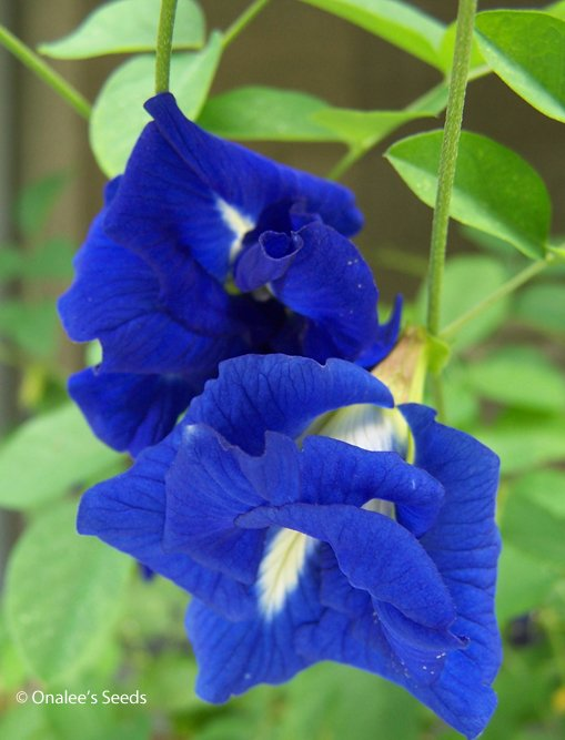 Image 0 of Butterfly Pea Vine Seeds: Rich DOUBLE Blue,  (Clitoria ternatea, bunga telang)