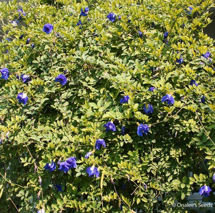 Image 1 of Butterfly Pea Vine Seeds: Rich DOUBLE Blue,  (Clitoria ternatea, bunga telang)