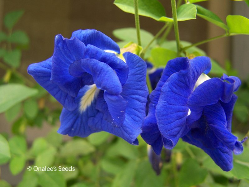 Image 2 of Butterfly Pea Vine Seeds: Rich DOUBLE Blue,  (Clitoria ternatea, bunga telang)