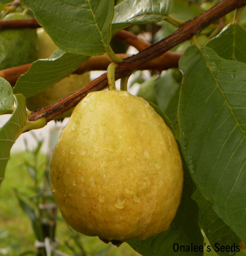 Image 0 of Florida Tropical White Pear Guava Fruit Tree Seeds (Psidium guajava pyriferum)