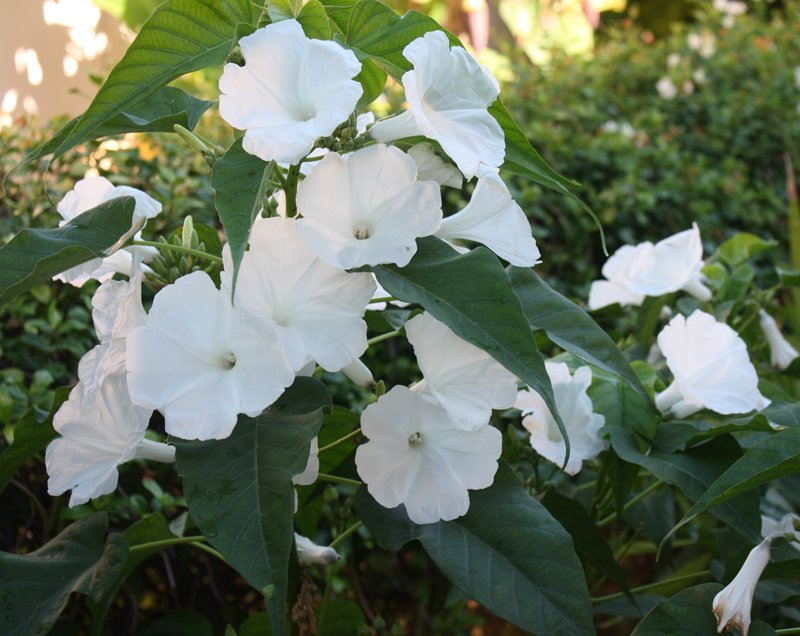 Image 1 of Morning Glory TREE BUSH Seeds, WHITE FLOWERS (Ipomoea carnea/fistulosa)