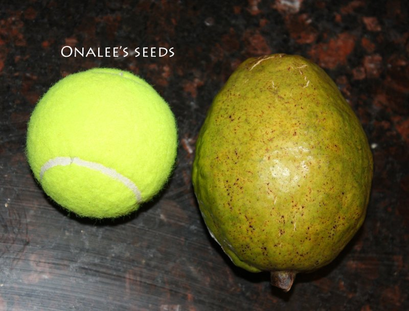 Image 2 of Florida Native Red (Dark Pink) Tropical Guava Fruit Tree Seeds (Psidium guajava)