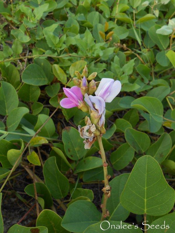 Beach Bean Vine Seeds, Canavalia Rosea, AKA: Baybean, Jackbean. Salt tolerant.
