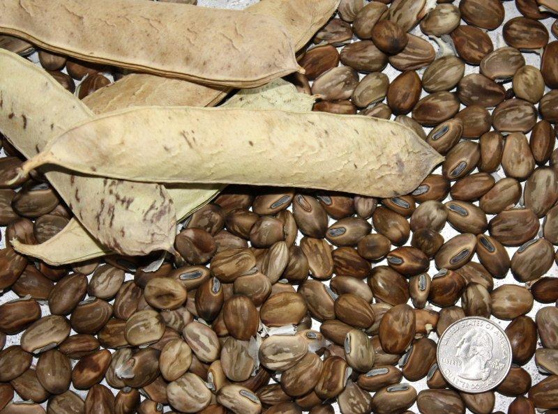 Image 2 of Beach Bean Vine Seeds, Canavalia Rosea, AKA: Baybean, Jackbean. Salt tolerant.