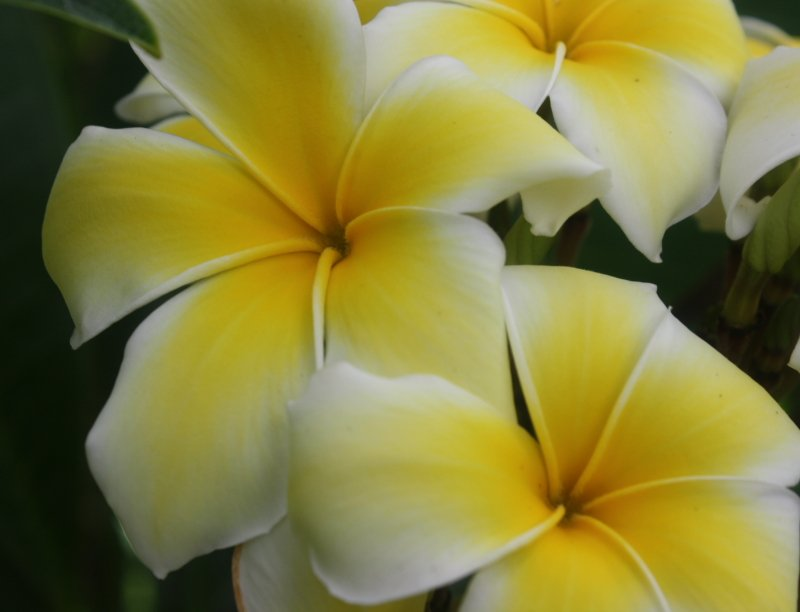 Yellow Frangipani (Plumeria rubra) Unrooted Cutting, Fragrant Tropical