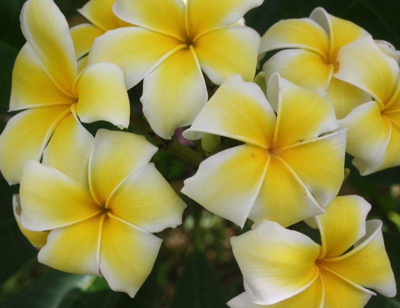 Image 1 of Yellow Frangipani (Plumeria rubra) Unrooted Cutting, Fragrant Tropical