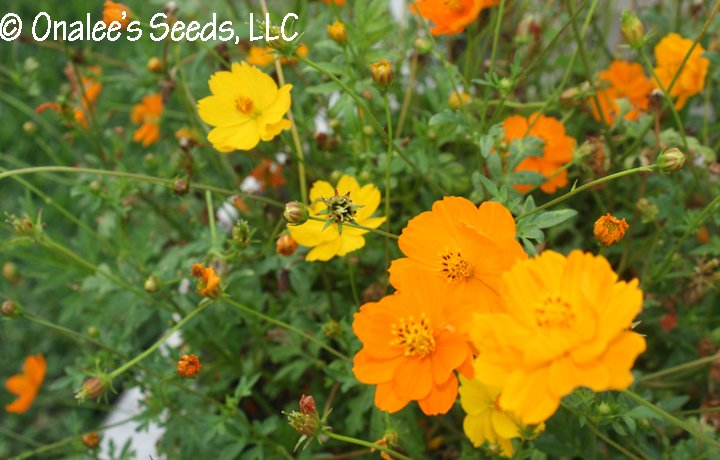 Bright, Sunny Cosmos! Mixed orange & yellow, single & double blooms. Easy!