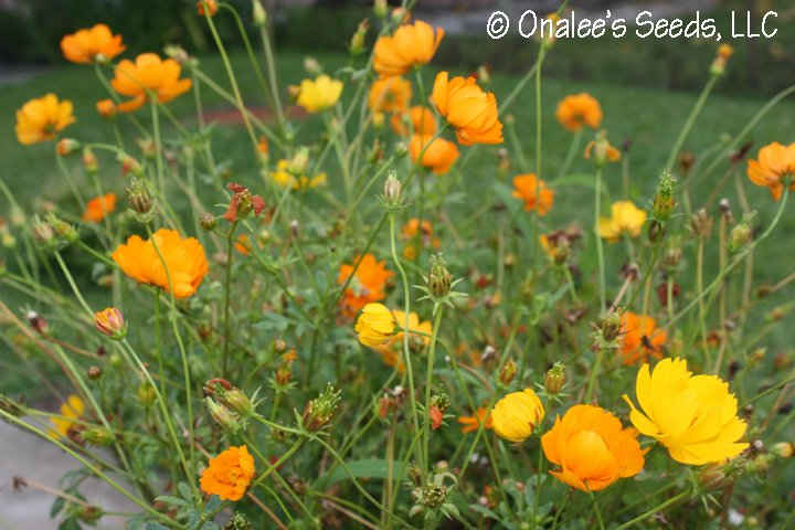 Image 1 of Bright, Sunny Cosmos! Mixed orange & yellow, single & double blooms. Easy!
