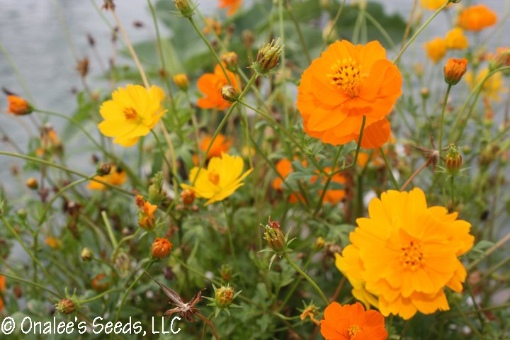 Image 2 of Bright, Sunny Cosmos! Mixed orange & yellow, single & double blooms. Easy!
