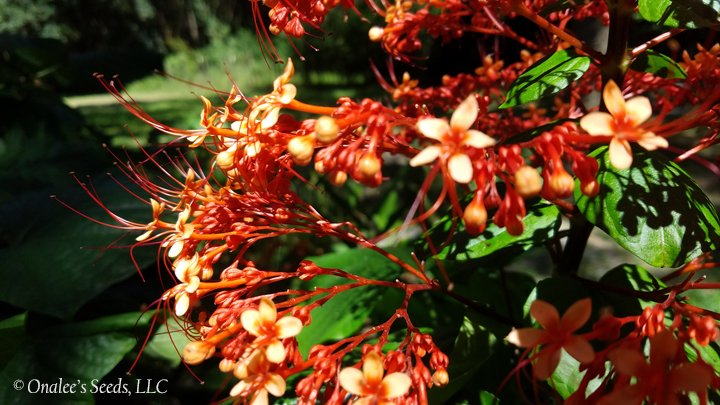 Image 1 of Pagoda Flower, Orange flowers, Butterfly fav. Clerodendrum paniculatum L., Plant