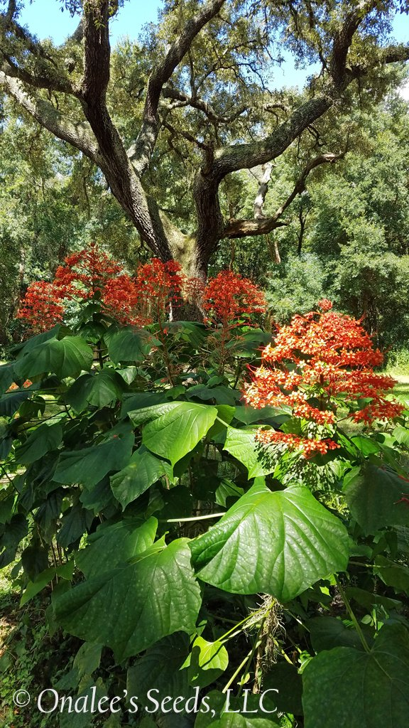 Image 2 of Pagoda Flower, Orange flowers, Butterfly fav. Clerodendrum paniculatum L., Plant