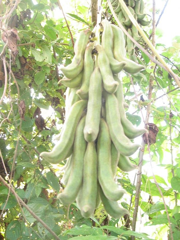 e*species Tropical Seeds - Mucuna pruriens