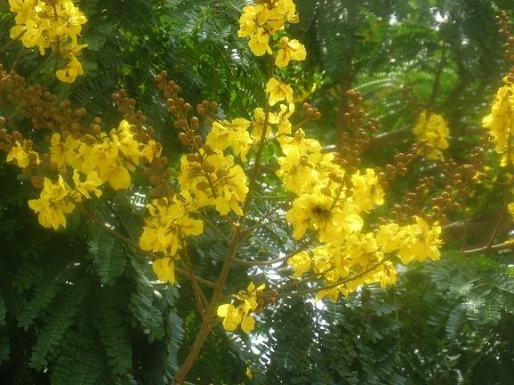 Senna siamea   Useful Tropical Legume Tree 50 seeds