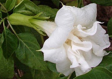 Angel s Trumpet  Double White Purity