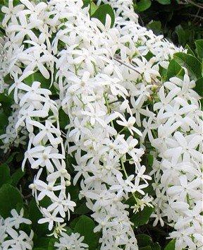 Queen s Wreath Vine  White