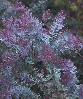Acacia  Purple Fernleaf
